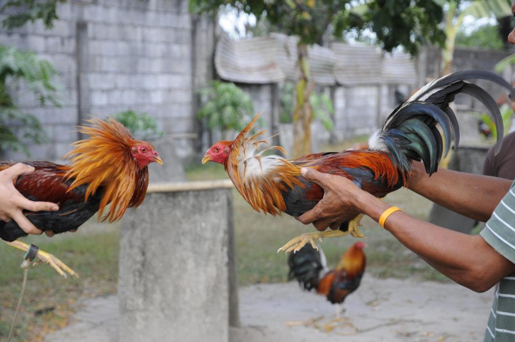 Memilih ayam petarung terbaik